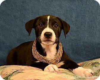American Pit Bull Terrier/Shepherd (Unknown Type) Mix Dog for adption in Ann Arbor, Michigan - Phoebe