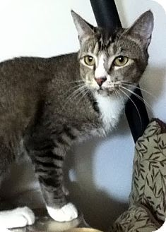 Domestic Mediumhair Cat for Sale in Alexandria, Virginia - Jitters