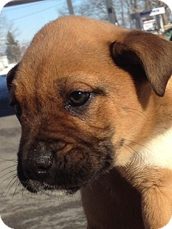 Boxer/Shar Pei Mix Puppy for Sale in Somers, Connecticut - Boxer mix pups