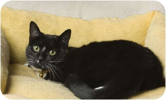 Domestic Shorthair Cat for adoption in Little Falls, New Jersey - Emma (MP)
