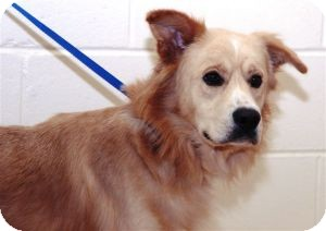 Golden Retriever Mix Dog for Sale in Southern, Maine - Ryder-URGENT in GA