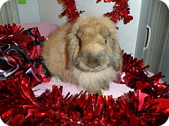 American Fuzzy Lop Mix for Sale in Hillside, New Jersey - Nutmeg