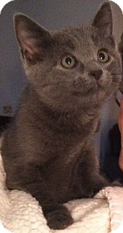Domestic Shorthair Kitten for Sale in Murrysville, Pennsylvania - Snooky