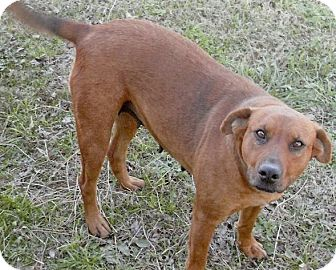 Labrador Retriever Mix Dog for adption in Moulton, Alabama - Reba