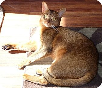 Abyssinian Cat for Sale in Vacaville, California - Maggie