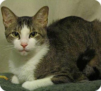 Domestic Shorthair Cat for adoption in Seminole, Florida - Rafe
