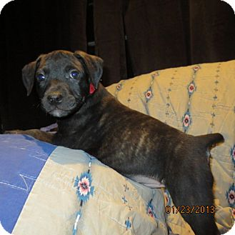 Retriever (Unknown Type)/Catahoula Leopard Dog Mix Puppy for Sale in Westminster, Colorado - Gooseberry