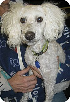 Poodle (Miniature) Mix Dog for Sale in Chandler, Arizona - Jake