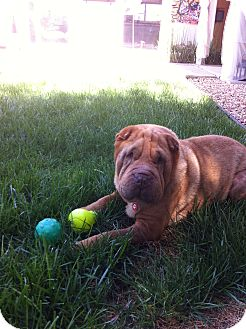 Shar Pei Dog for adption in Mira Loma, California - Snooki