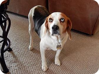 Beagle Mix Dog for Sale in Phoenix, Arizona - Casper