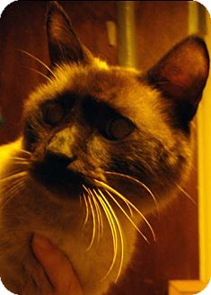 Siamese Cat for Sale in St. Louis, Missouri - Coco