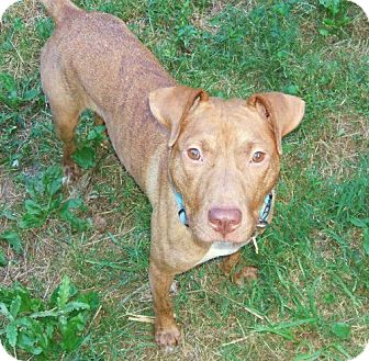 American Pit Bull Terrier Mix Dog for Sale in Nashua, New Hampshire - Star