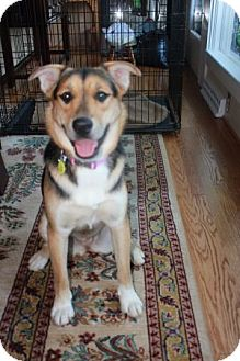 German Shepherd Dog Mix Dog for Sale in Greeneville, Tennessee - Tara