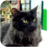 Domestic Longhair Cat for adoption in Sacramento, California - Vito