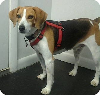 Beagle Dog for adption in London, Kentucky - Sammie - bonded pair/Lady