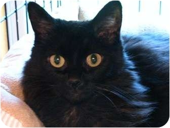 Domestic Longhair Cat for adoption in Richmond Hill, Ontario - Libby