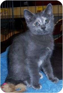 Domestic Mediumhair Cat for Sale in Cocoa, Florida - Seven