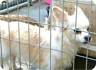 Pomeranian/Chihuahua Mix Dog for Sale in cumberland, Rhode Island - tiffany