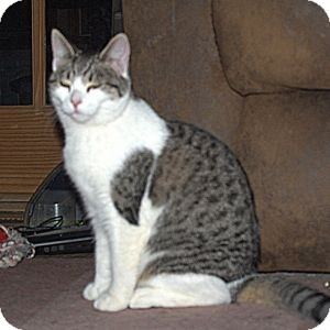 Domestic Shorthair Cat for Sale in Colorado Springs, Colorado - K-Hart10-Queenie