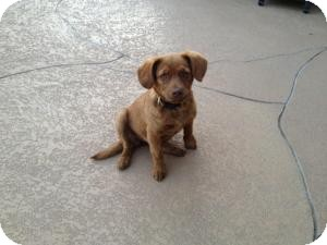 Terrier (Unknown Type, Small)/Dachshund Mix Puppy for Sale in Russellville, Kentucky - Amelia