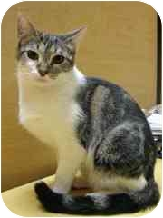 Domestic Shorthair Cat for adoption in Culver City, California - Hermione