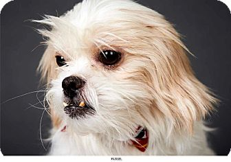 Shih Tzu Mix Dog for adption in New York, New York - Russell