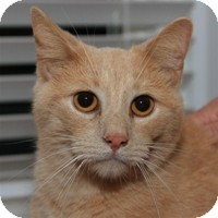Domestic Shorthair Cat for Sale in Albany, New York - Val