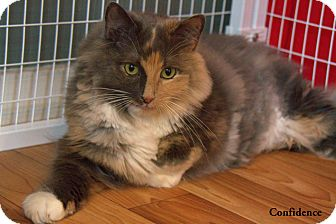 Domestic Longhair Cat for Sale in Gaithersburg, Maryland - Confidence