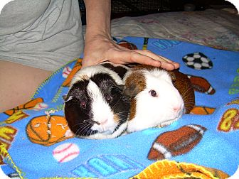 Guinea Pig for Sale in johnson creek, Wisconsin - sally and tatiena