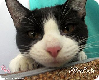 Domestic Shorthair Cat for adoption in St Louis, Missouri - UltraBrite
