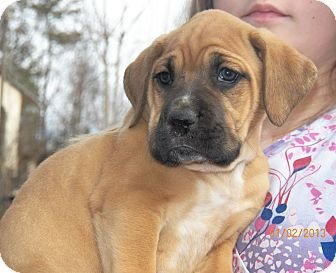 Boxer/Labrador Retriever Mix Puppy for Sale in Sussex, New Jersey - Duke