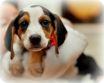 Treeing Walker Coonhound/Beagle Mix Puppy for Sale in Sparta, New Jersey - Oreo