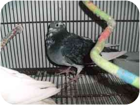 Pigeon for adoption in Creston, Illinois - Pigeons