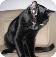 Domestic Shorthair Cat for adoption in Berkeley Hts, New Jersey - Professor Plum