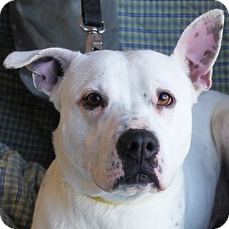 American Staffordshire Terrier Mix Dog for adption in Huntley, Illinois - Jango