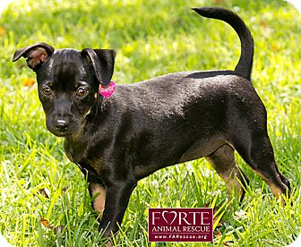 Miniature Pinscher Mix Puppy for Sale in Marina del Rey, California - Zara