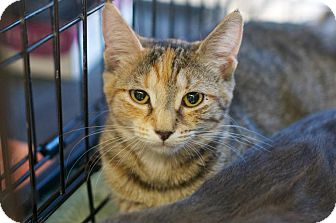 Domestic Shorthair Kitten for adoption in New York, New York - Gina