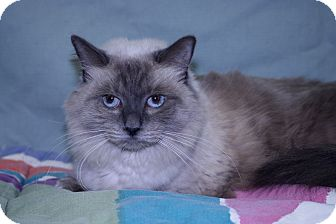 Siamese Cat for Sale in Kerrville, Texas - Lilac