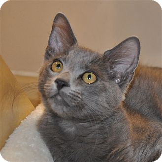 Russian Blue Kitten for Sale in Foothill Ranch, California - Grover