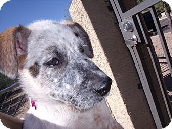 Australian Cattle Dog Mix Puppy for Sale in Gilbert, Arizona - Painter - Adoption Pending