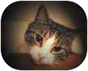 Domestic Shorthair Cat for adoption in New York, New York - Britney