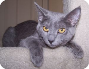 Domestic Shorthair Kitten for Sale in Colorado Springs, Colorado - K-Nicholas4-Nimbus