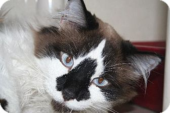 Snowshoe Cat for adoption in Fort Collins, Colorado - Celine