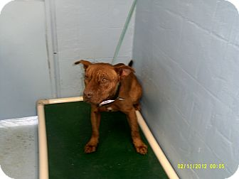 American Pit Bull Terrier Mix Dog for Sale in Dundas, Virginia - Paul - Facing Death
