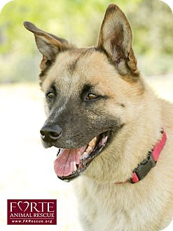 German Shepherd Dog/Belgian Malinois Mix Dog for Sale in Marina del Rey, California - Rocky II
