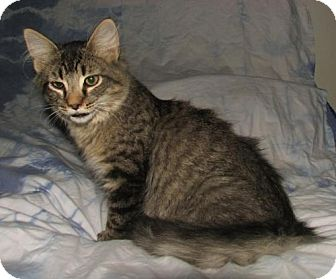 Domestic Shorthair Kitten for adoption in Oxford, New York - Homer