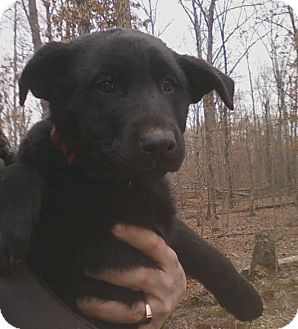 German Shepherd Dog/Labrador Retriever Mix Puppy for Sale in Nashville, Tennessee - Holly