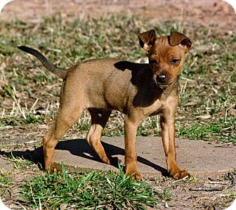 Miniature Pinscher Mix Puppy for adption in Greensboro, Georgia - ike