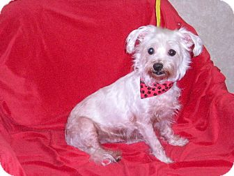 Maltese Mix Dog for Sale in New Castle, Pennsylvania -