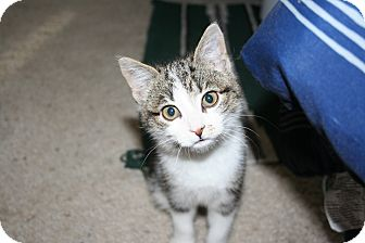 Domestic Shorthair Kitten for Sale in Kalispell, Montana - Hailley